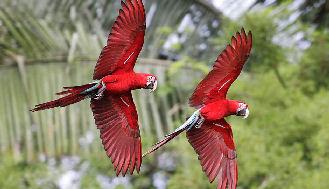 Manu-National-Park-Birds