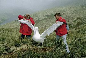 size-of-an-albatross